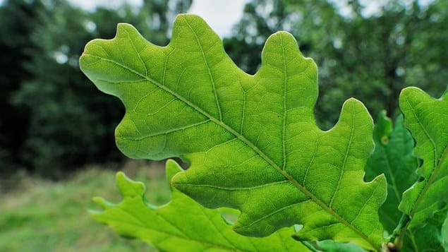 English oak single leaf close-up