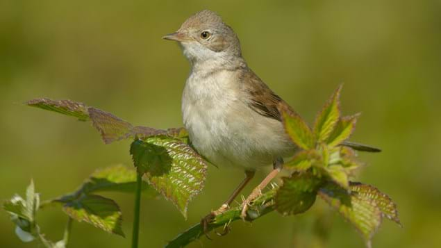 Whitethroat perched.