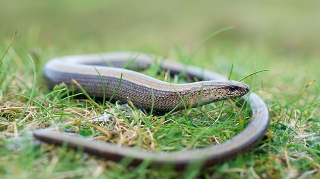 Slow worm on grass