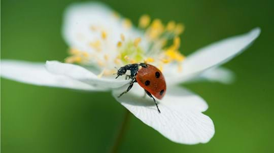 7-spot ladybird on wood anemone