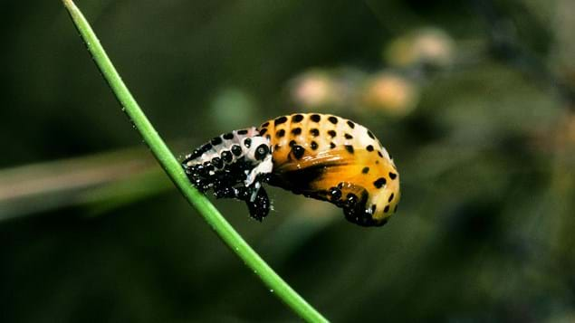 Poplar leaf beetle pupa attached to leaf