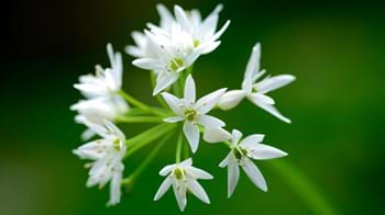 Wild garlic close-up