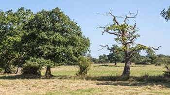 Oak suffering decline with dieback of the crown