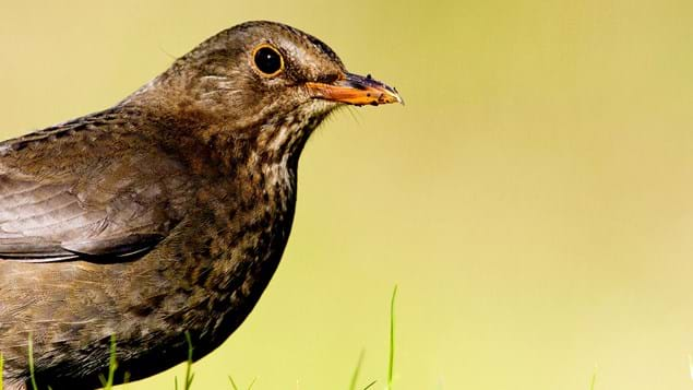 Female blackbird close up