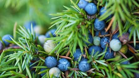 juniper berries close-up