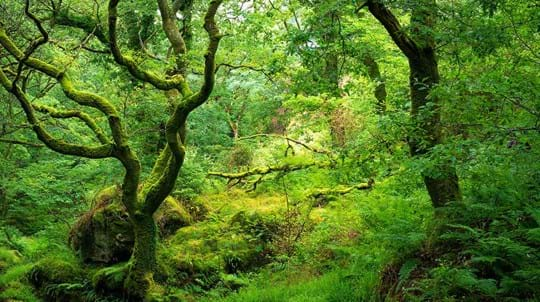 Lush ancient woodland in Wales