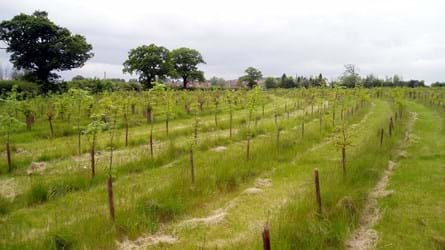 Rows of newly planted saplings in a field