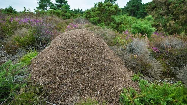 Large southern wood and nest on heathland
