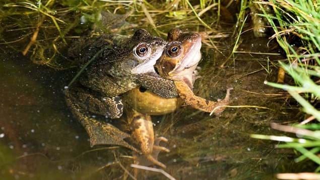 Common frog pair mating in amplexus