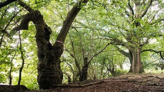 A tree in Whitmore Wood