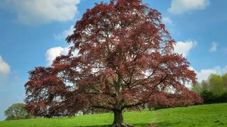 Mature copper beech tree