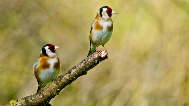 two goldfinches on a branch