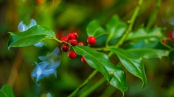 Holly leaves and berries close-up