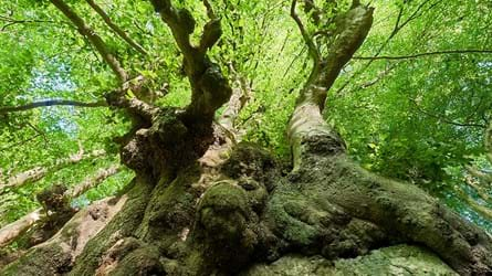 Ancient beech tree in the Wye Valley