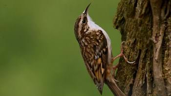 Treecreeper climbing up tree close up