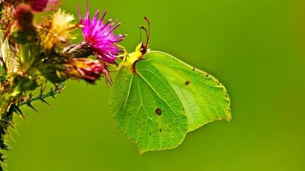 Brimstone butterfly feeding on knapweed