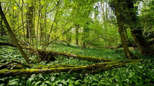 Ancient woodland with a carpet of wild garlic at Avoncliff