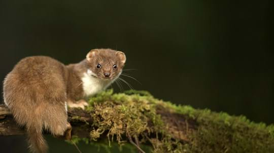 Weasel on mossy branch