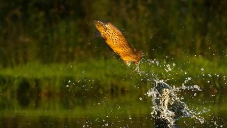 Brown trout jumping to catch insect