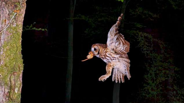 Tawny owl in flight with dormouse prey