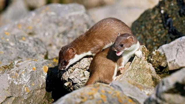 Stoats playing on rocks