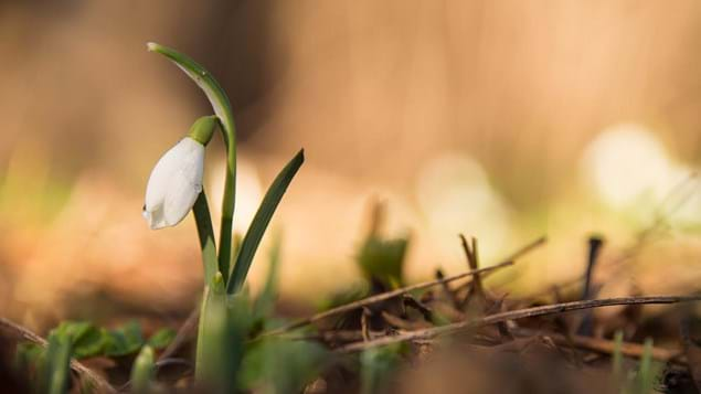 snow drop with blurry background