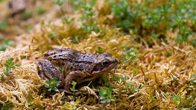 Common frog on mossy bank