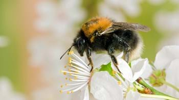Tree bumblebee collecting pollen on blackthorn blossom