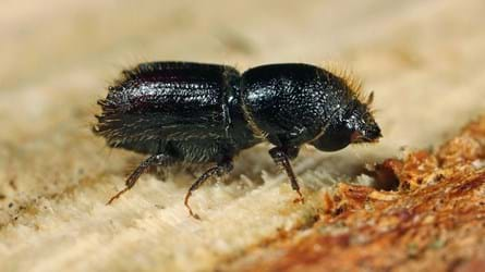 Tiny eight-toothed spruce bark beetle on exposed wood