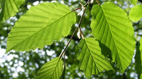 Hornbeam leaves