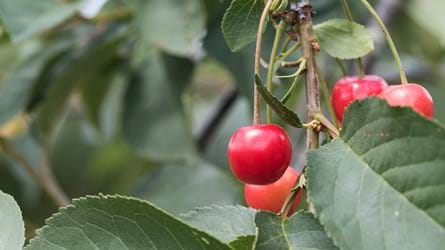 sour cherry morello fruit on tree
