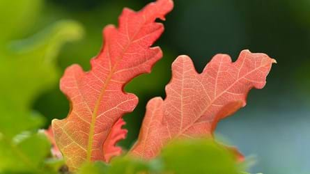 Close-up of red oak leaves, Glen Finglas
