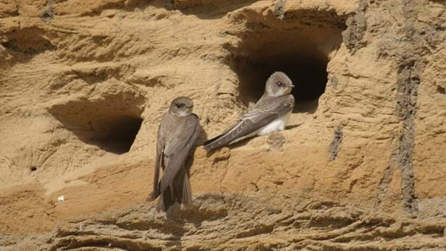 Sand martin at nest hole.