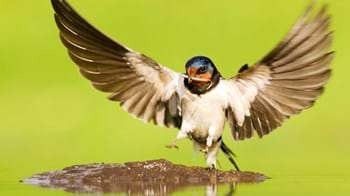 swallow at pool collecting mud for nest building with wings outstretched