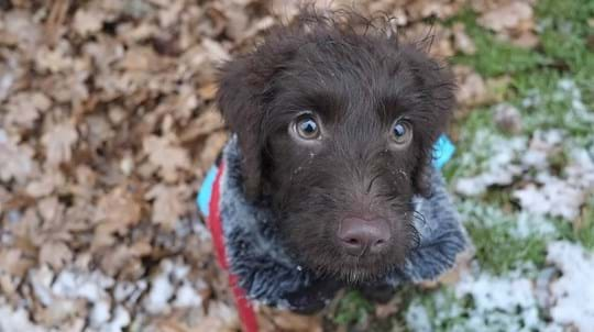 Chocolate Labradoodle Puppy Oak Leaves In Snow
