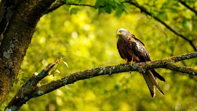 Red kite perched in woodland