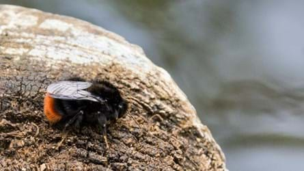 Red tailed bumblebee worker
