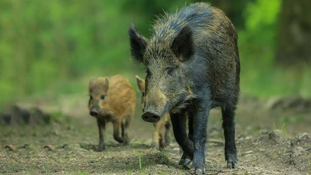 wild boar female walking with young