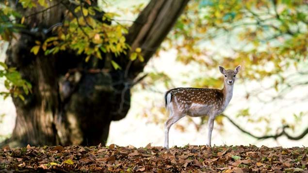 Female fallow deer in woodland