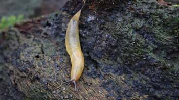 Lemon slug on woodland floor