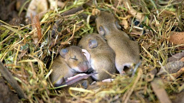Yellow-necked mouse nest with a litter of young mice