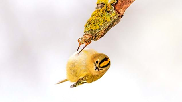 goldcrest hanging upside down on branch