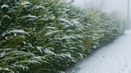 cypress trees snow-covered hedge