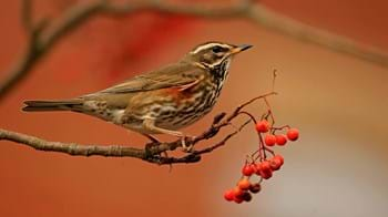 Redwing on berry branch