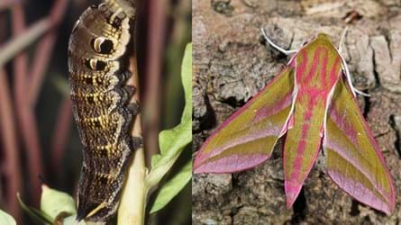 Elephant hawk moth and caterpillar