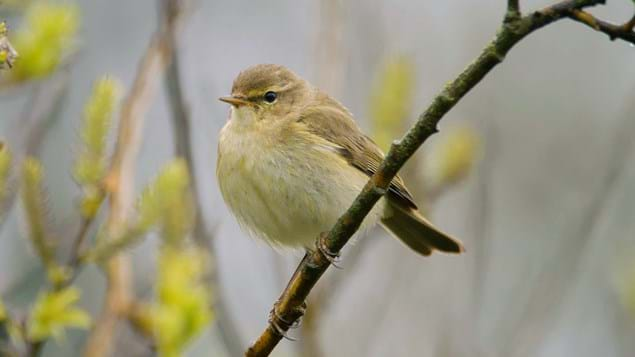 chiffchaff on branch puffed up