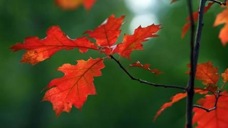 Red oak leaves in autumn