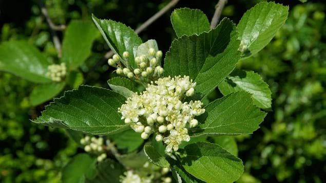 Rock whitebeam flowers blossoming