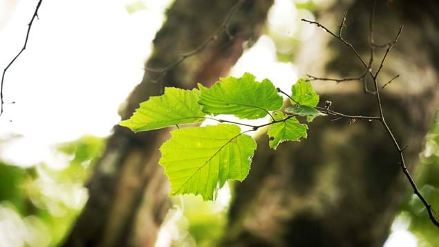 Close up of hazel leaves in Abriachan Wood, Scotland