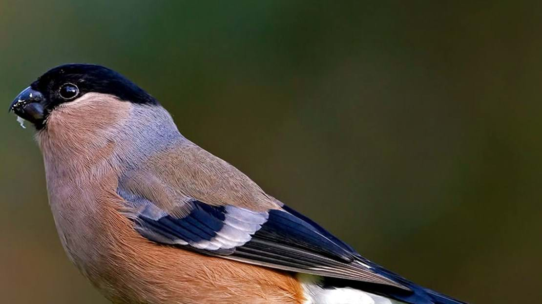 Female bullfinch perched on moss